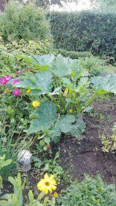 Zuchinipflanze